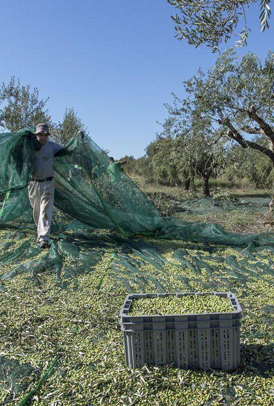 rete-olive-grecia